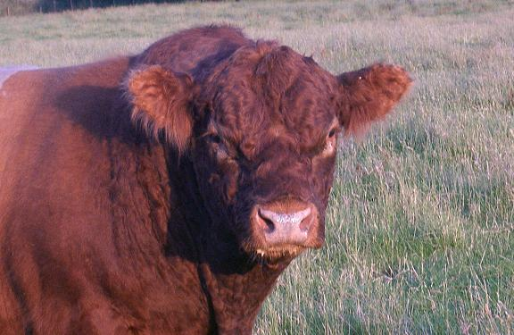 Red Belted Galloway Bull - Mochrum Huckleberry