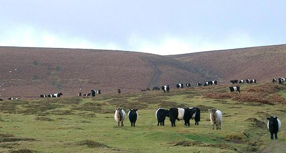 Black, Red & Dun Belted Galloway Cattle